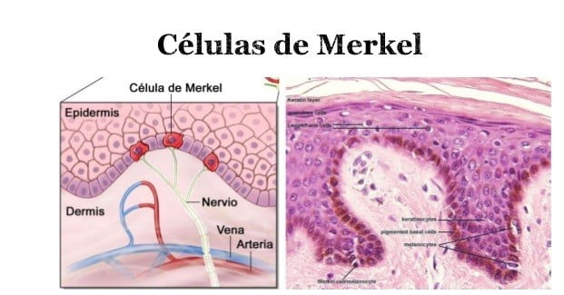 Células de merkel