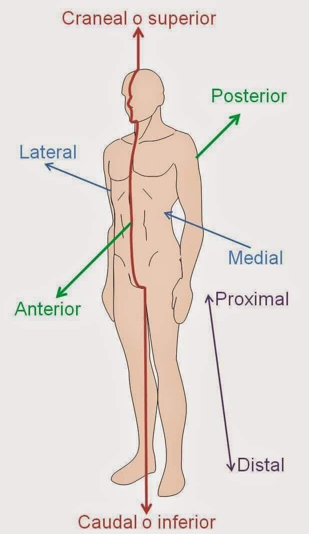 Famoso Anatomía Términos Direccionales Fotos - Anatomía de Las ...