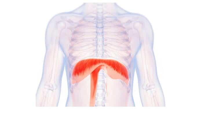 Músculo diafragma (Que es, función y cual es su importancia)