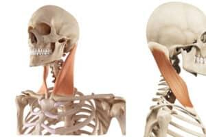 músculo esternocleidomastoideo