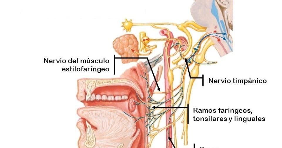 Nervio Glosofaringeo (anatomia, origen, funciones e importancia clínica)