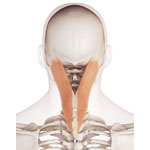 Músculo Esplenio