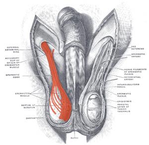 músculo cremáster