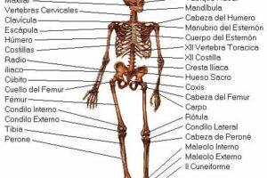sistema esqueletico