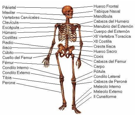 Huesos (Sistema Esquelético o Sistema Óseo y sus funciones)
