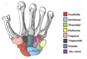 Huesos carpianos