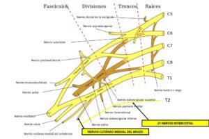 Nervio cutáneo medial del brazo