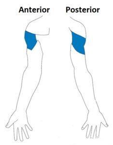 nervio cinrcunflejo