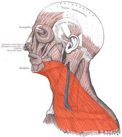 músculo platisma