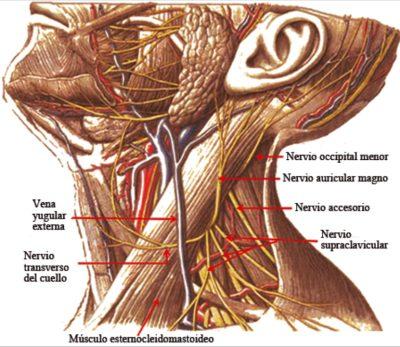 Nervio auricular mayor