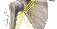 nervio circunflejo
