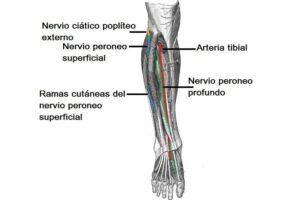 Nervio ciático poplíteo externo