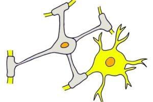 Oligodendrocitos