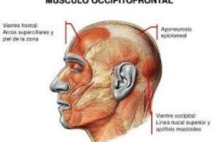 músculo occipitofrontal
