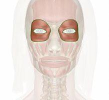 Músculo orbicular de los ojos