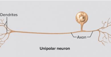 neuronas unipolares