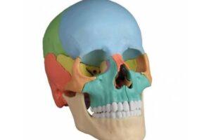 modelos de cráneo