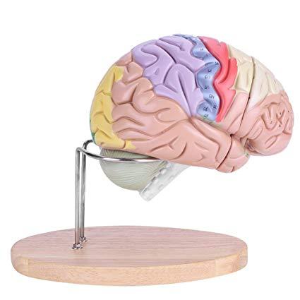 modelos cerebrales