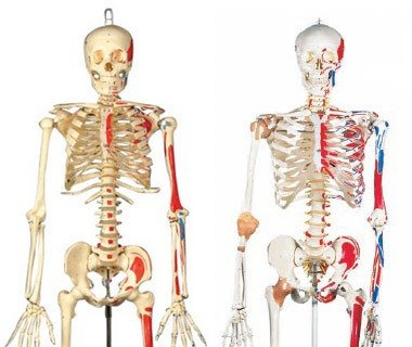 modelos de esqueleto humano