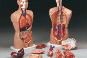 Modelos del torso