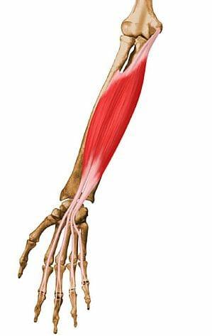 Músculo flexor común superficial de los dedos