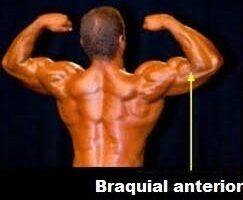 braquial anterior