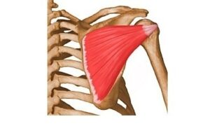 músculo infraespinoso