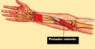 músculo pronador redondo