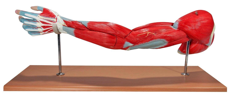 modelos de brazos