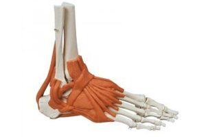 modelos de piernas y pies