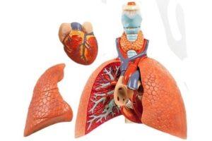 modelos de pulmón