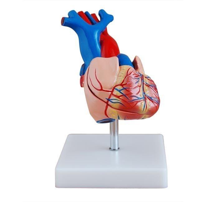 modelos del corazón humano