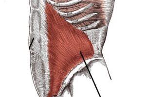 musculo oblicuo menor