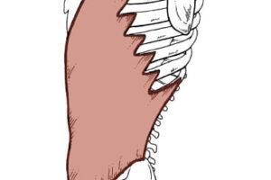músculo oblicuo externo