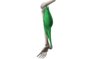 músculo triceps sural