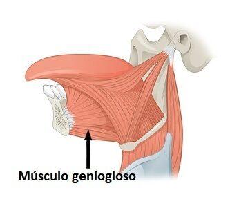 Musculo geniogloso