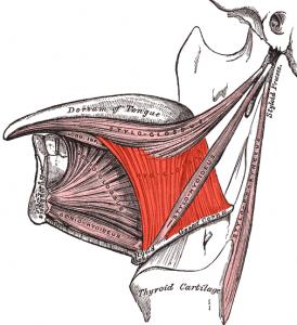 músculo hiogloso