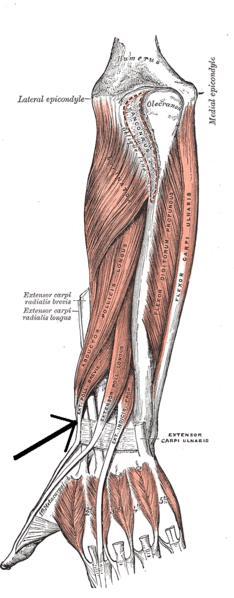 Extensor corto del pulgar