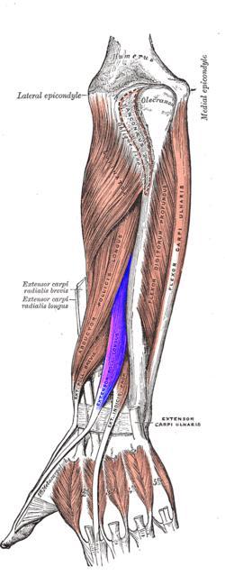 Extensor largo del pulgar