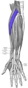 Extensor radial largo del carpo