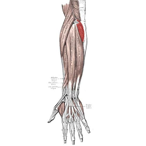 músculo ancóneo