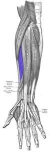 extensor radial corto del carpo