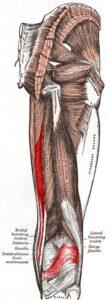 Músculo semimembranoso