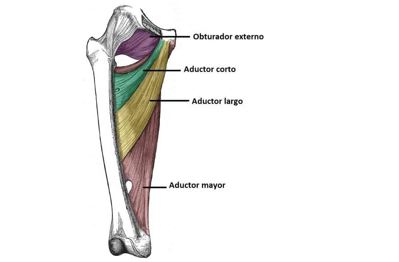 Músculos aductores de la cadera