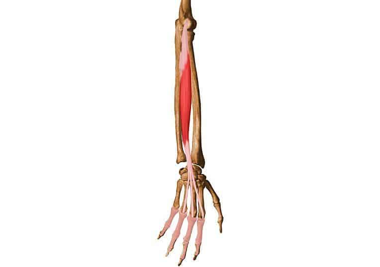 músculo extensor de los dedos