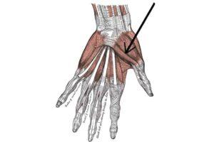 flexor corto del pulgar