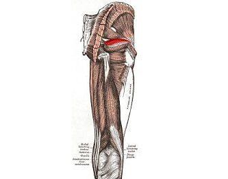 músculo gemelo superior