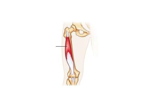 músculo vasto intermedio