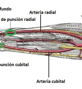 arteria cubital