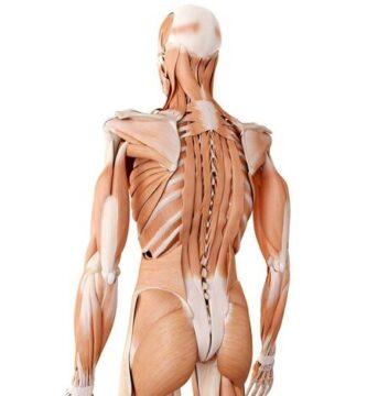 músculo erector de la columna